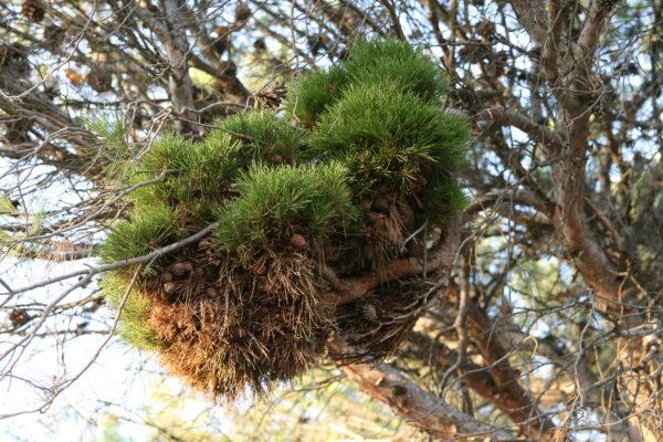 Pinus silvestris con b1 | Asociación Gardatxo Elkarteaola Escoba de brujas en la monja, Larraga