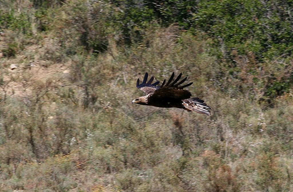 Aguila real – Aquila chrysaetos (Linnaeus 1758)
