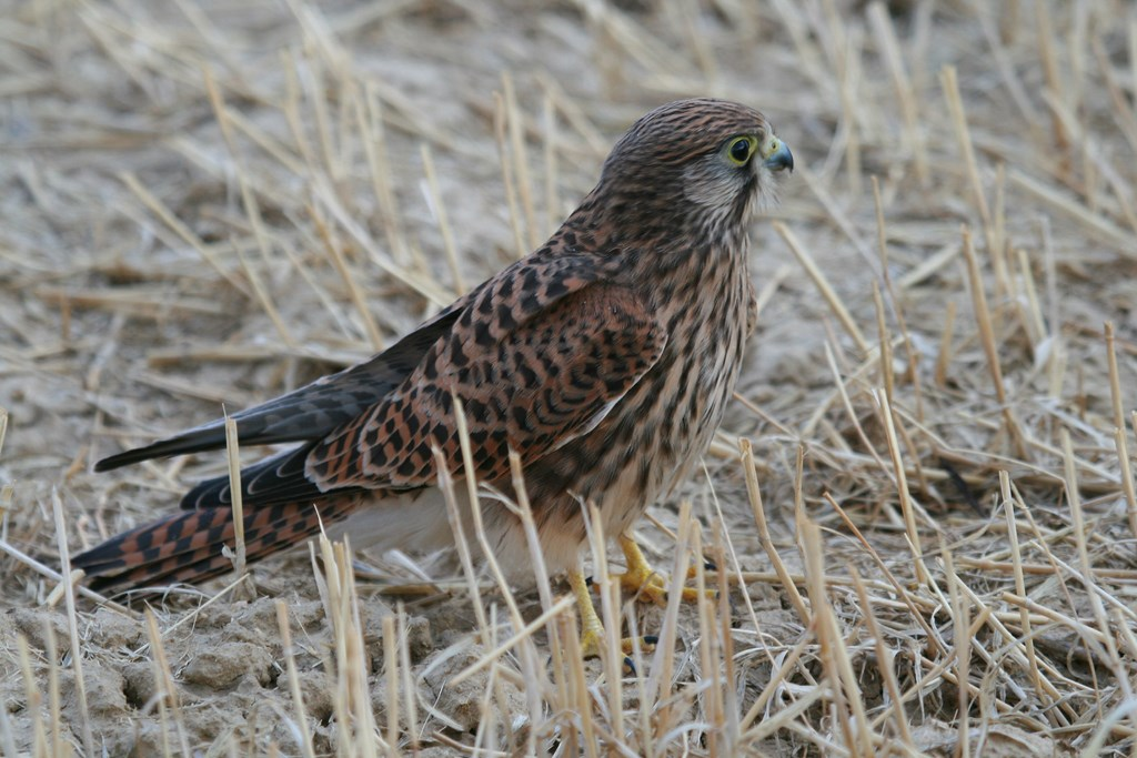 Cernícalo vulgar – Falco tinnunculus (Linnaeus 1758)