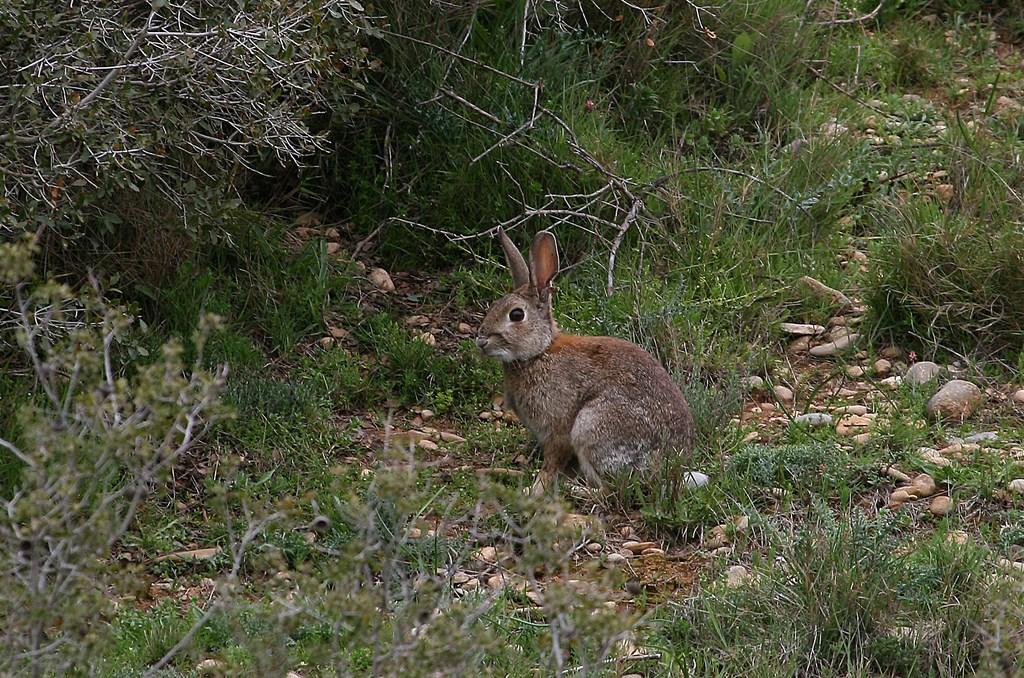 Conejo de campo – Oryctolagus cuniculus ) Linnaeus 1758)