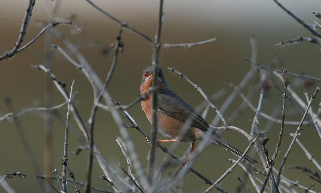 Curruca carrasqueña – Txinbo papargorritza – Sylvia cantillans – (Pallas 1764), macho adulto
