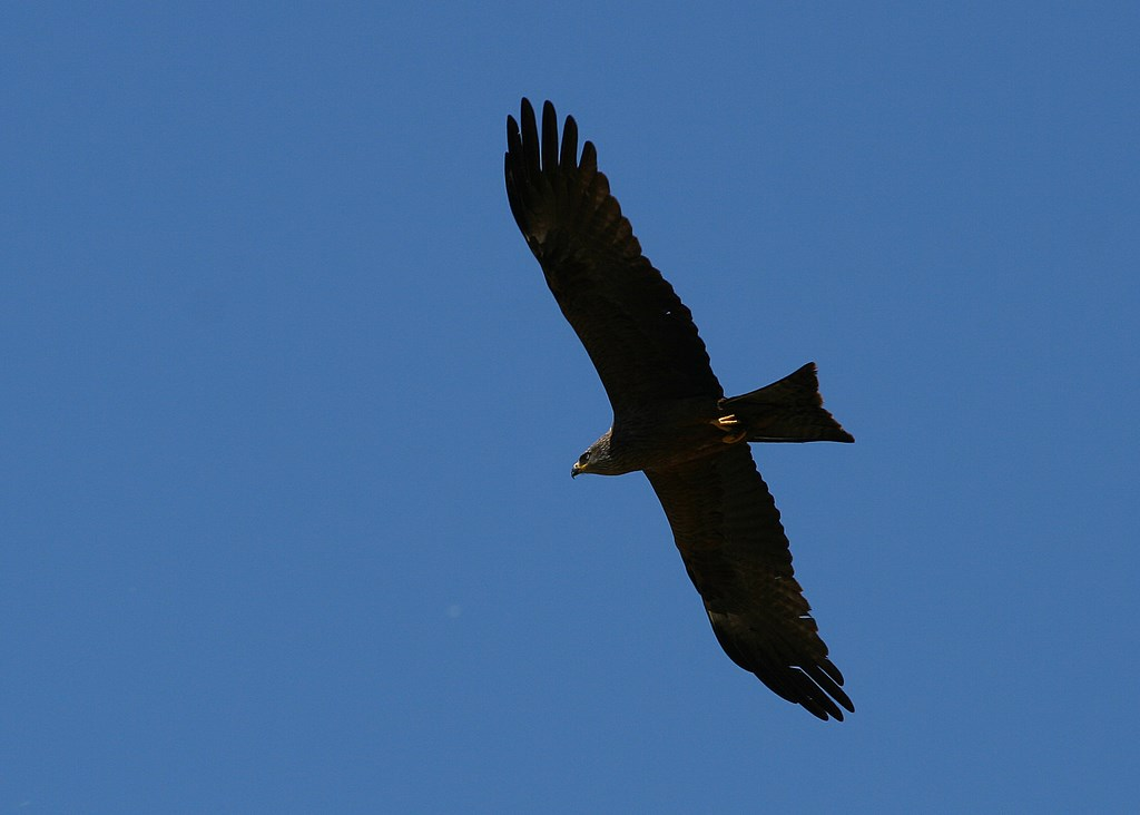 Milano negro – Milvus migrans (Boddaert 1783)