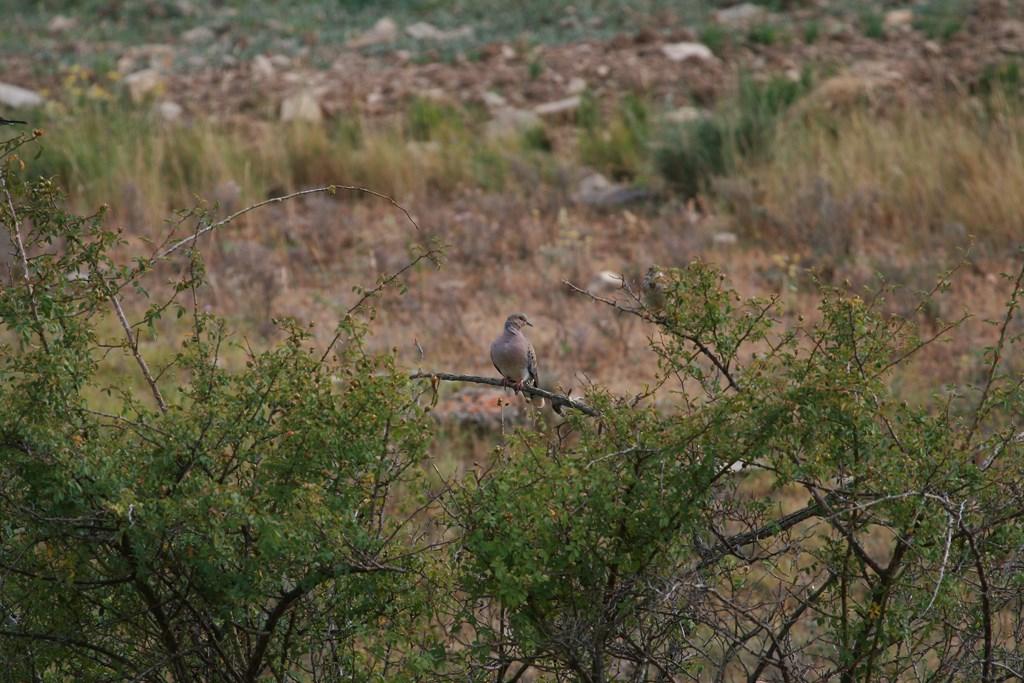 Paloma tórtola – Streptopelia turtur (Linnaeus 1758)