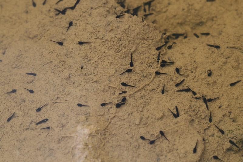 Sapo común – Bufo bufo (Anuros), alevines.