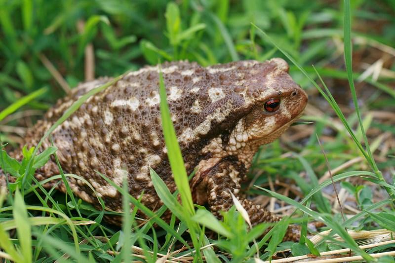 Sapo común – Bufo sponosus (Daudin 1803), hembra adulta