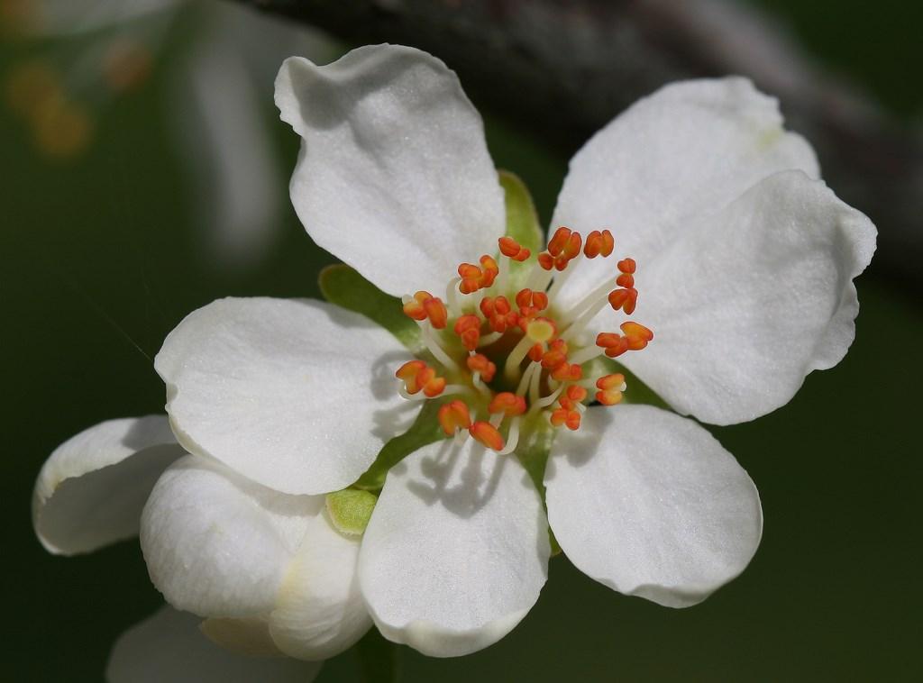 ciruela claudia, flor de