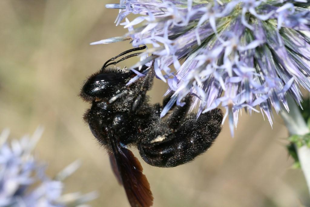 Abeja carpintera – Xylocopa violacea (Linnaeus 1758) hembra