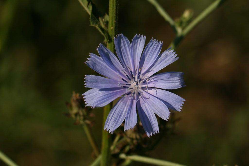 Achicoria común, Amargón – Cichorium intybus L. 1753, flor de