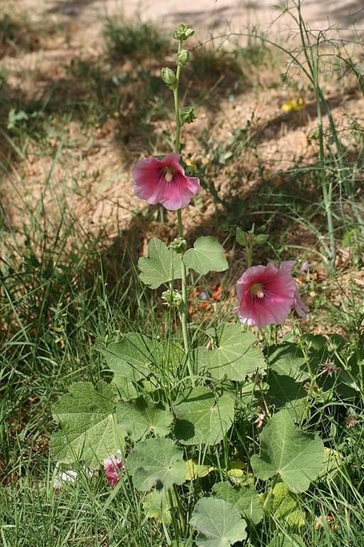 Alcea rosea L., flor de
