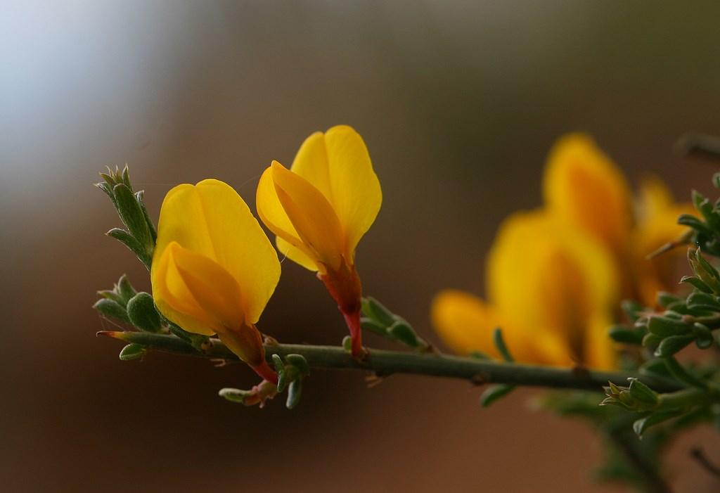 Aliaga – Genista scorpius (L.) DC.in Lam. & DC., flor de