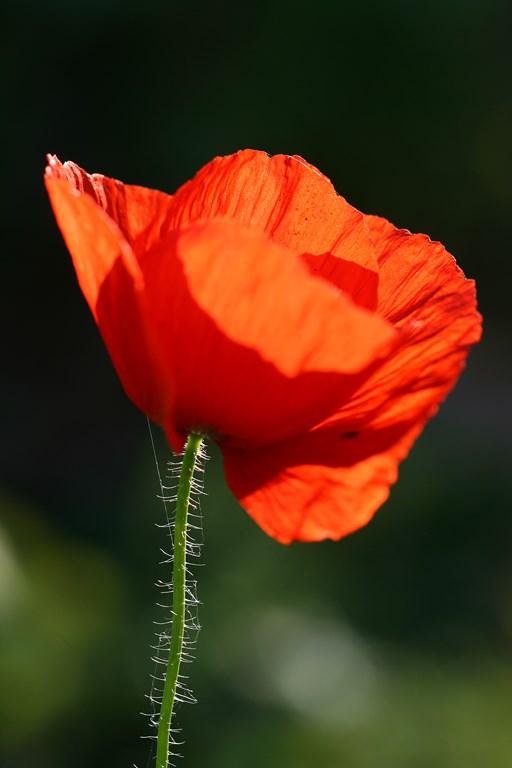 Amapola – Papaver rhoeas, flor de
