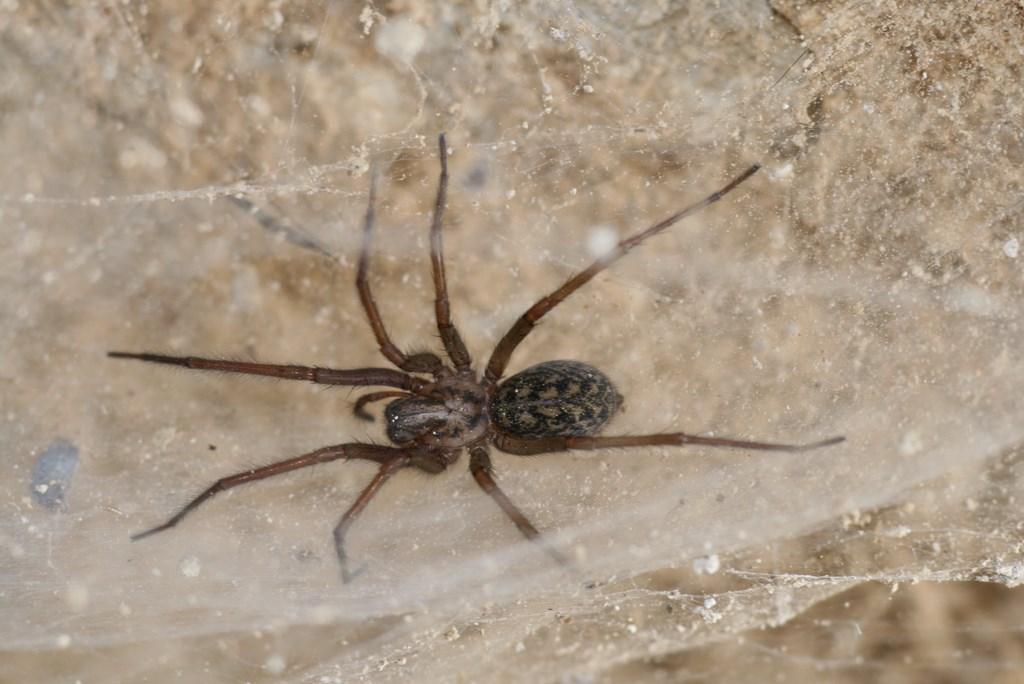 Araña doméstic europea – tejenaria duellica