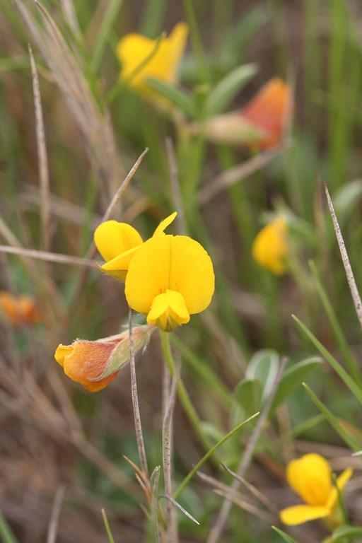 Argyrolobium zanonii (Turra) P.W.Ball subp. zanonii – Leguminosae, flor de
