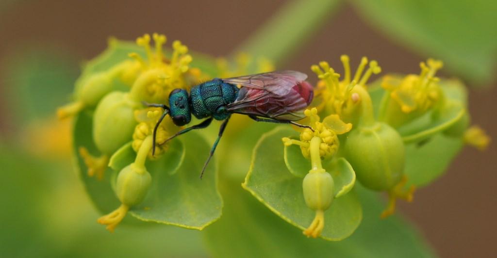 Avispa cuco – Pseudomalus auratus