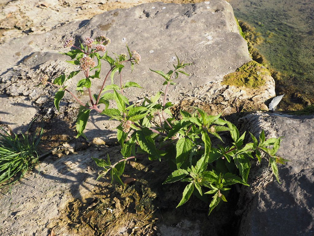 Cannabina – Eupatorium cannabinum L. 1753