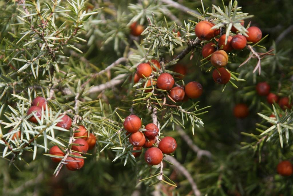 Enebro de la miera, Cada, – Juniperus oxycedrus, subes. badia