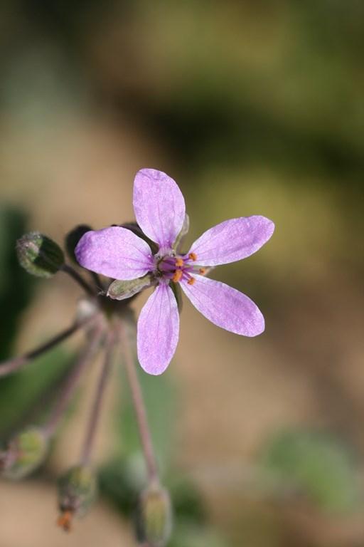 Erodium cicutarium (L.) L'Her. ex Aiton 1789, flor de