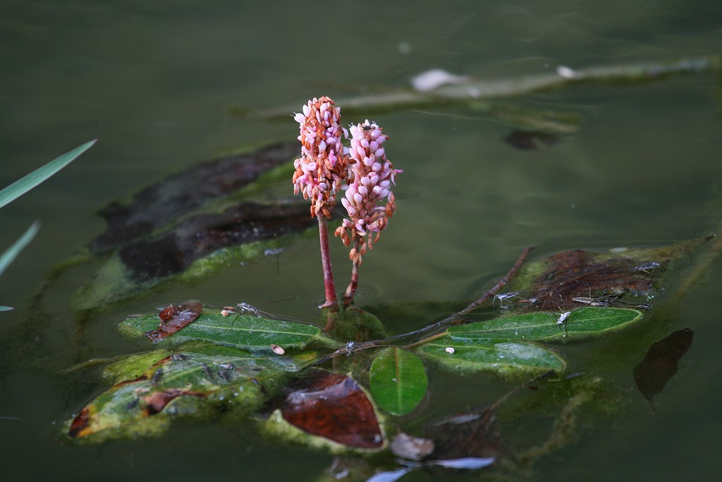 Flor Polygonum amphibium (L.)