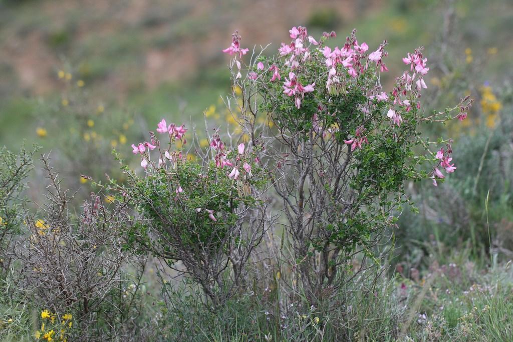 Garbancillo – Ononis fruticosa L.