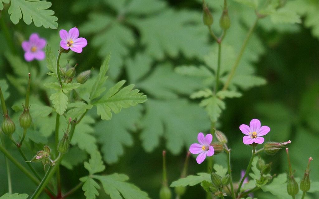 Geranio – Geranium purpureum Vill. (anteras amarillas)