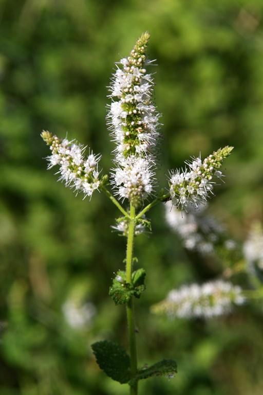 Hierbabuena bastarda – Mentha suaveolens (EHRH 1792)