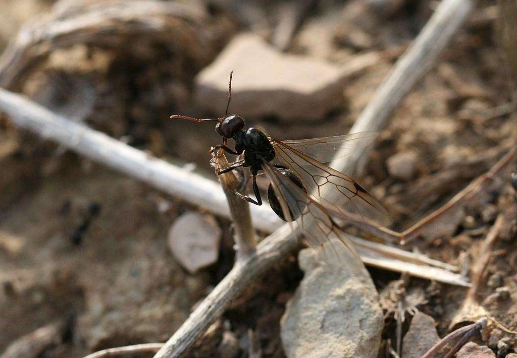 Hormiga reina –  Messor barbarus (Linnaeus 1767)